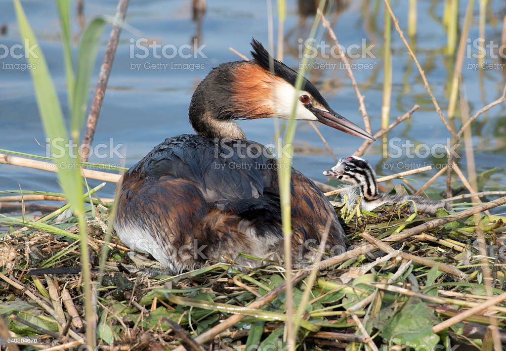 Great Crested Grebe with baby chicken sitting on nest stock photo