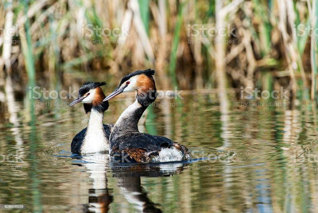 Great crested grebes stock photo