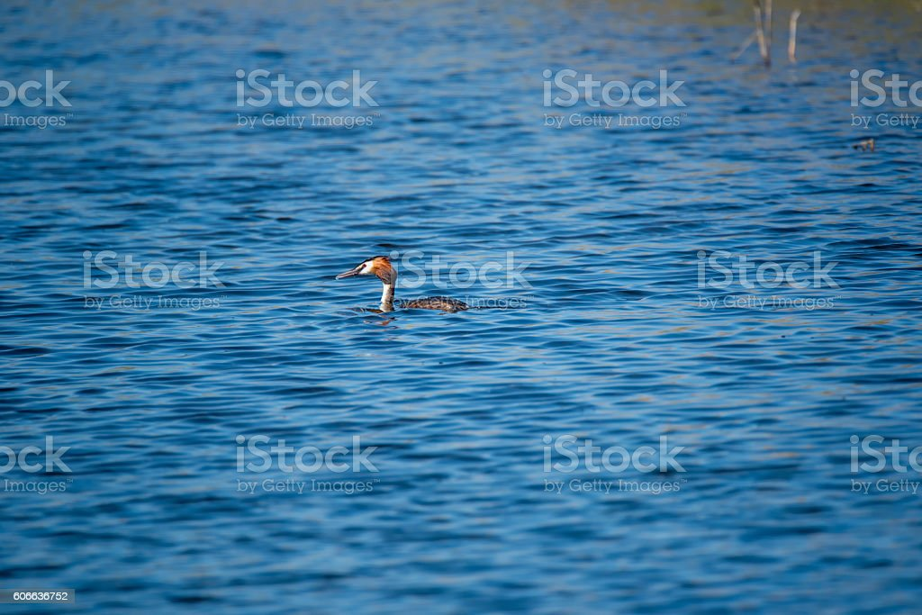 Great Crested Greebe Swimming on Lake stock photo