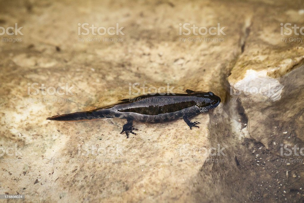 Great Crested Newt in its environment stock photo