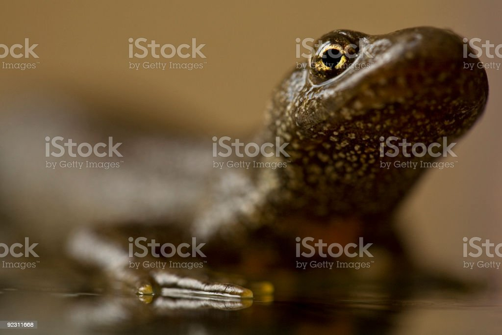 Great Crested Newt stock photo