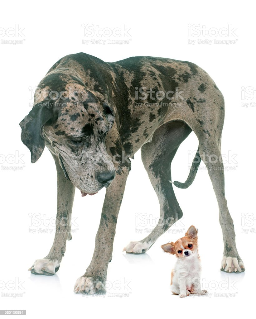 Great Dane and puppy chihuahua in studio stock photo