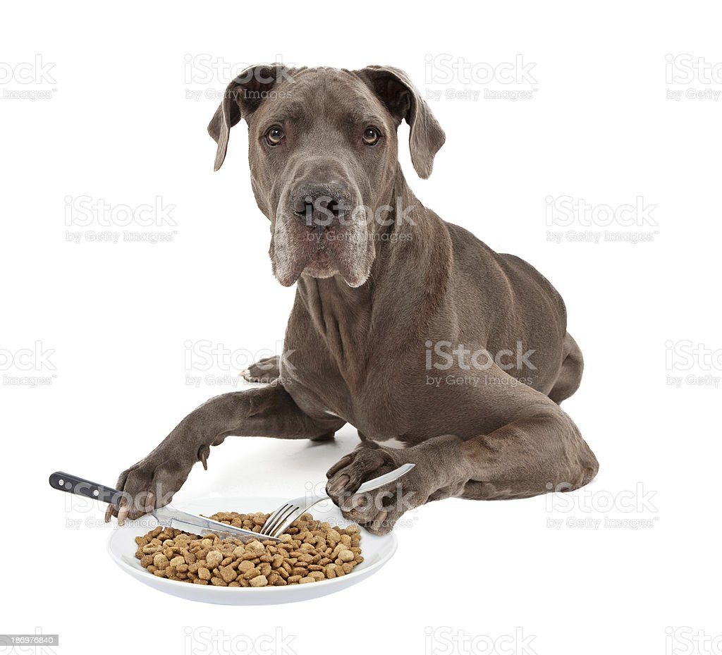 Great Dane Dog Eating Food with Utensils royalty-free stock photo