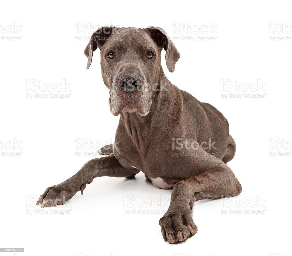 Great Dane Dog Isolated on White stock photo