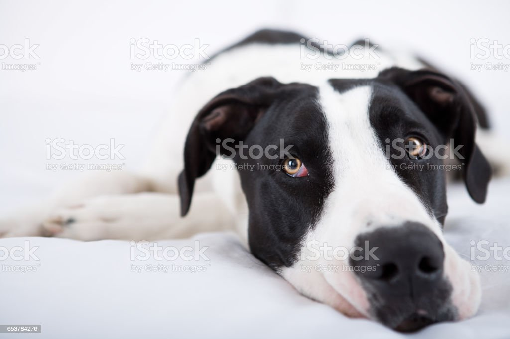 Great dane dog laying in bed stock photo