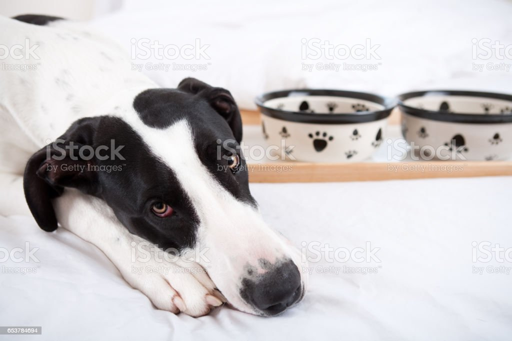 Great dane dog not eating stock photo