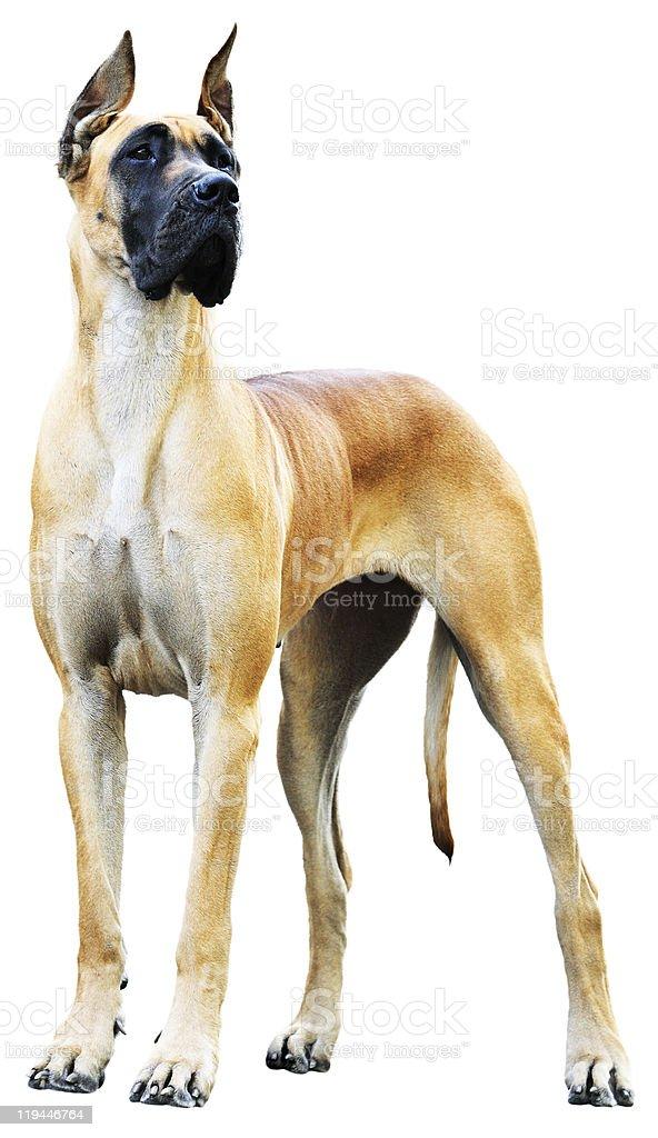 Great Dane Dog stock photo