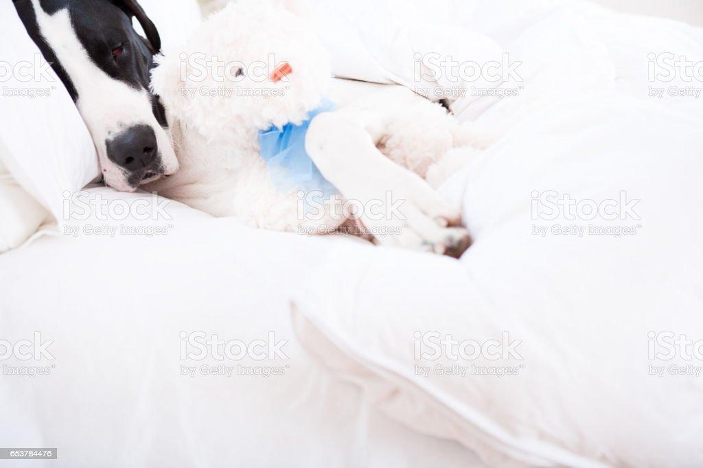 Great dane dog sleeping with teddybear stock photo
