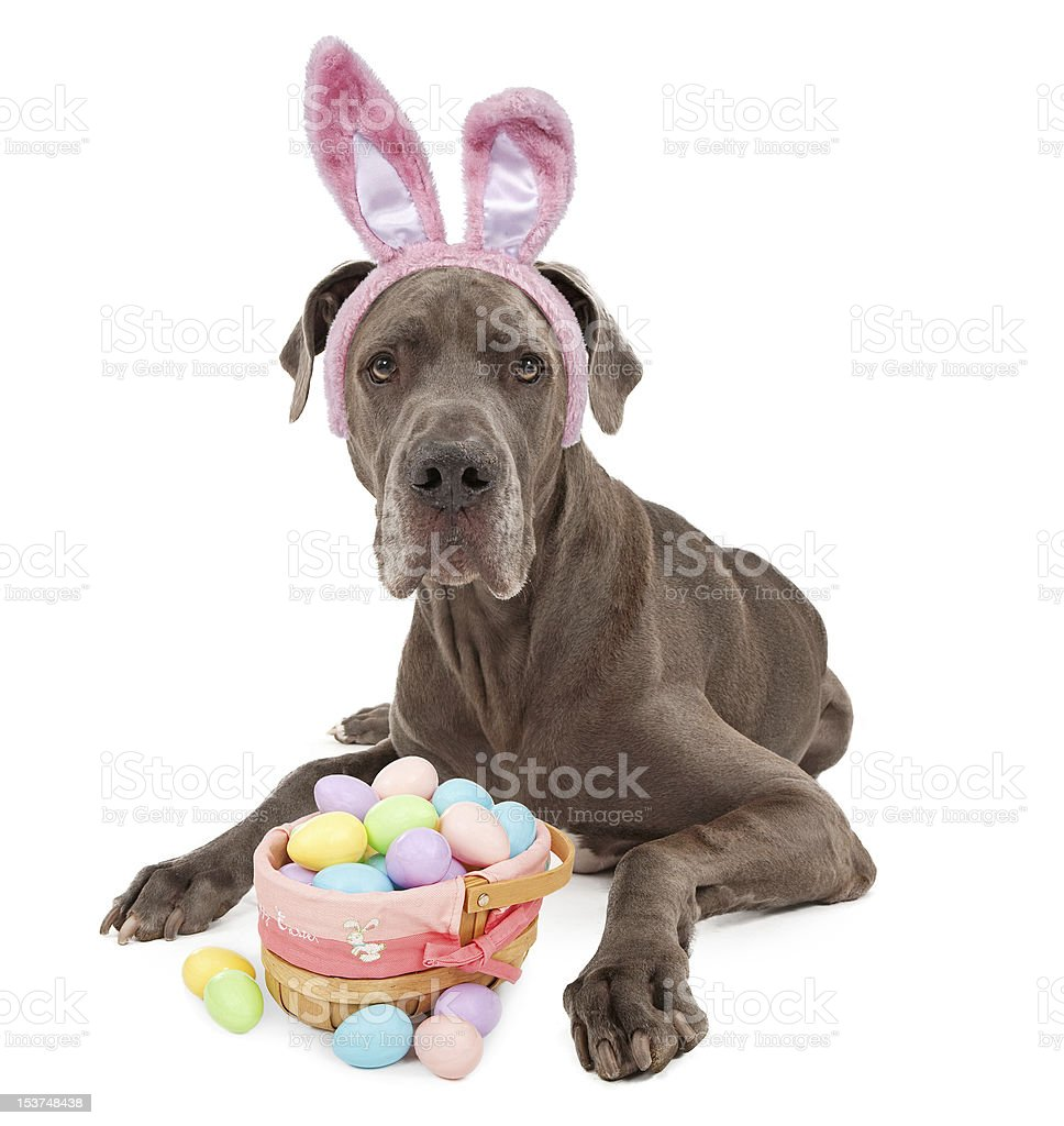 Great Dane Easter Bunny stock photo