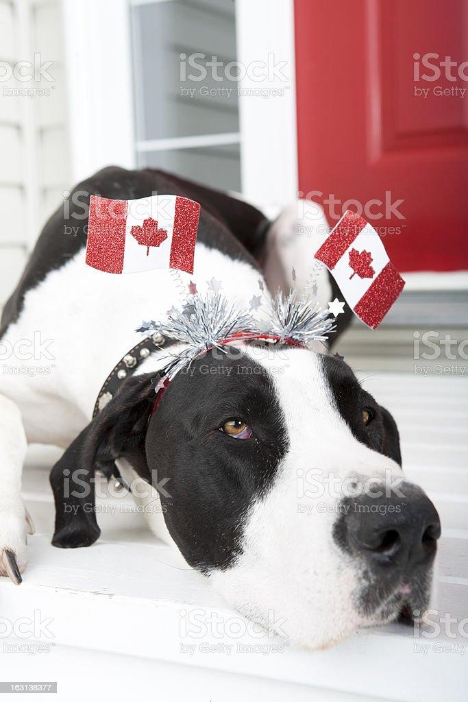 Great Dane enjoying Canada Day royalty-free stock photo
