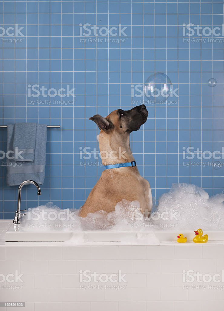 Great Dane getting a bath with blue tile in background. stock photo