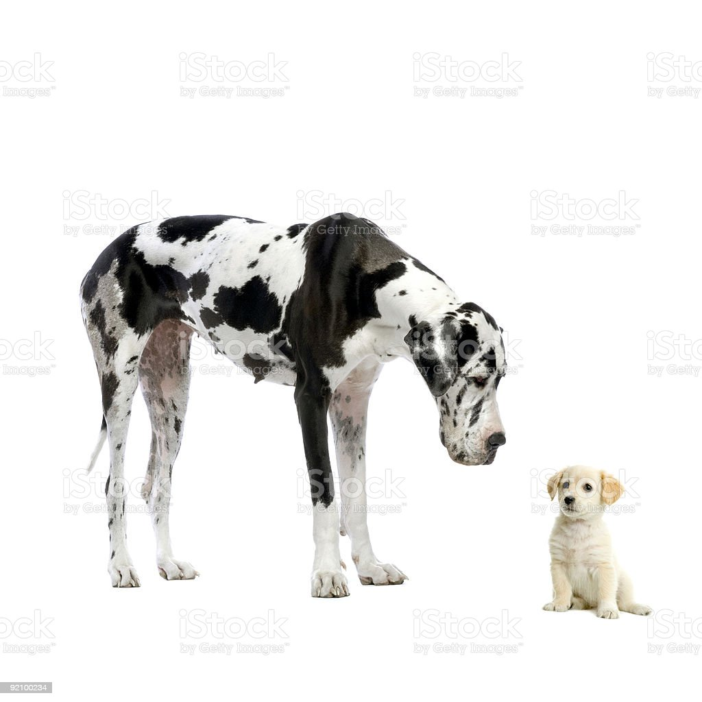 Great Dane harlequin looking down at Yellow Labrador Retriever puppy stock photo