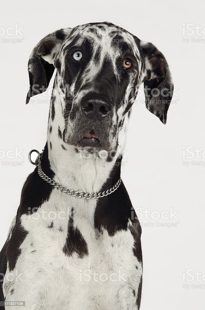 Great Dane Harlequin stock photo