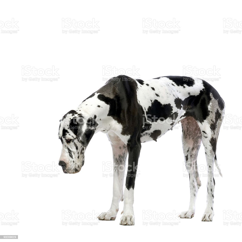 Great Dane HARLEQUIN royalty-free stock photo