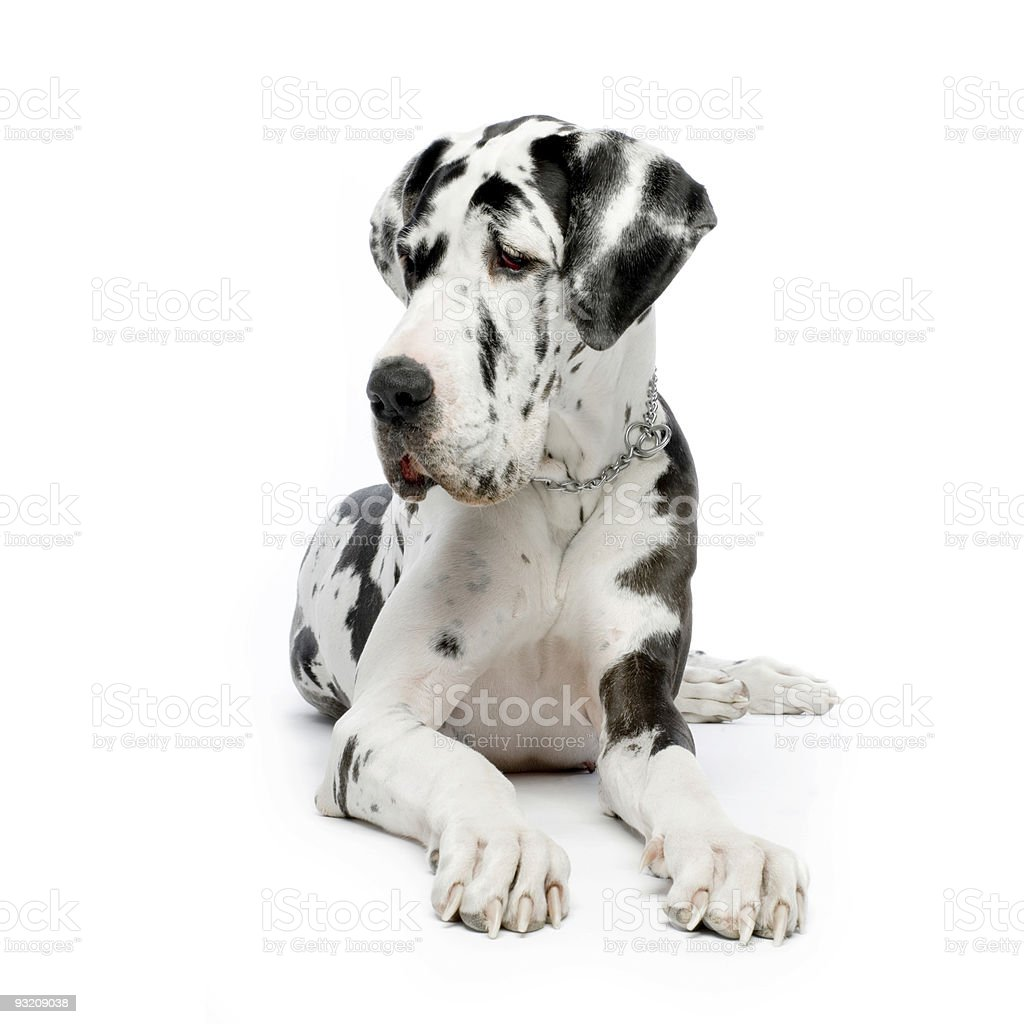 Great Dane HARLEQUIN stock photo