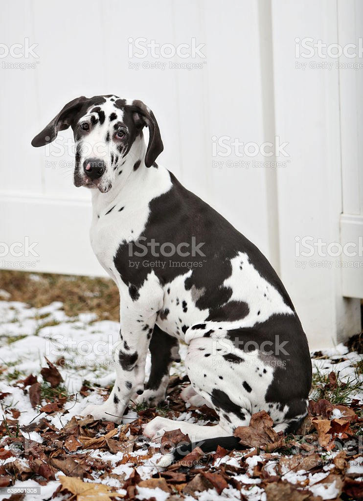 great dane harlequin puppy stock photo