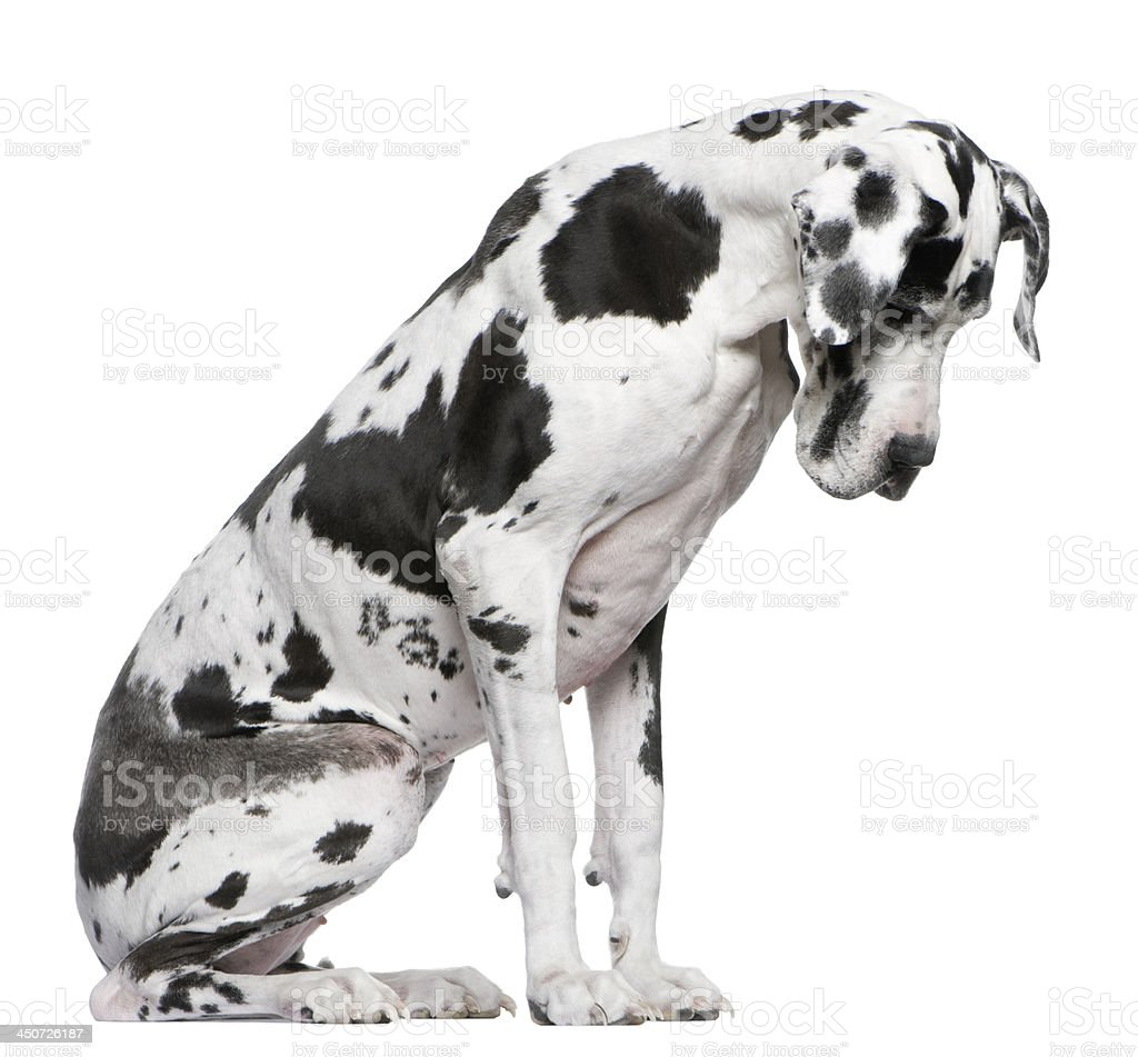 Great Dane Harlequin sitting in front of white background stock photo