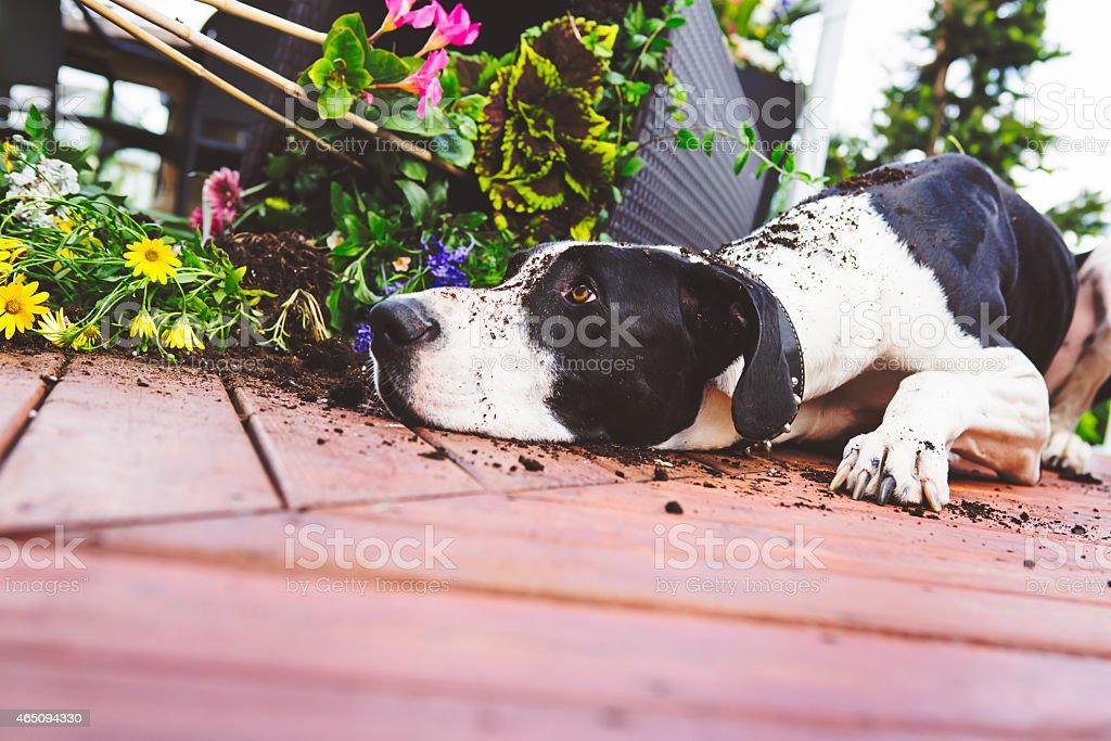 Great Dane knocking over planter stock photo