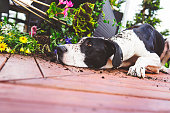 Great Dane knocking over planter