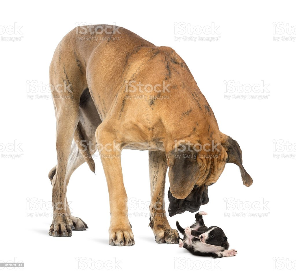Great Dane looking at a Bearded Collie puppy rolling over royalty-free stock photo
