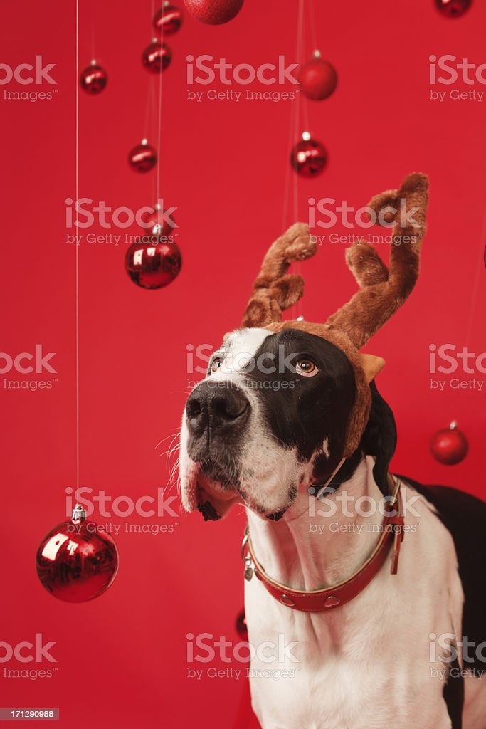 Great Dane Pet Dog with Elk Antler and Christmas Background stock photo