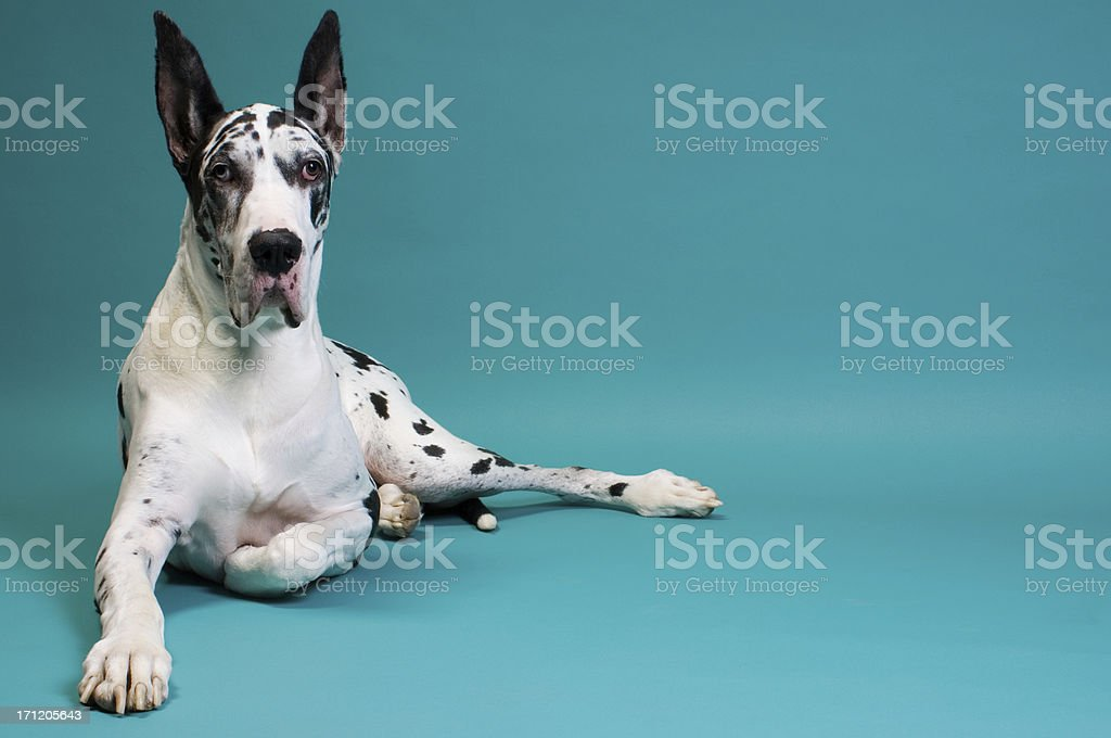 Great Dane stock photo