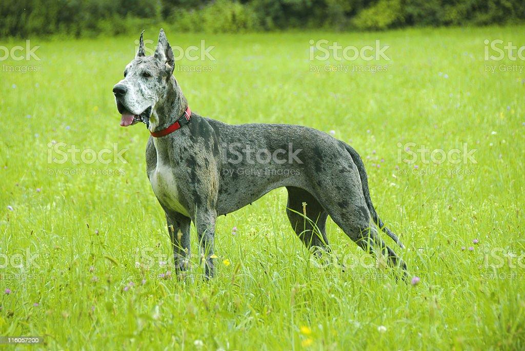 Great Dane posing stock photo