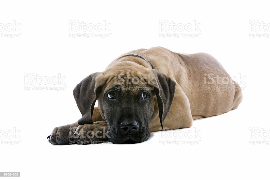 great dane puppy dog stock photo