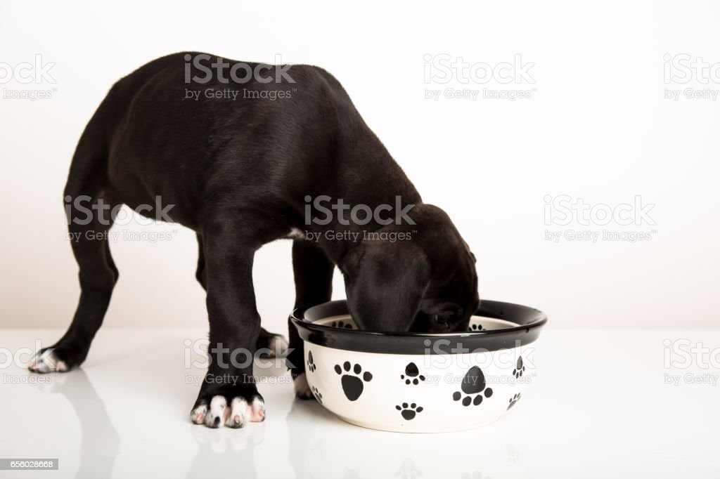 Great dane puppy eating stock photo