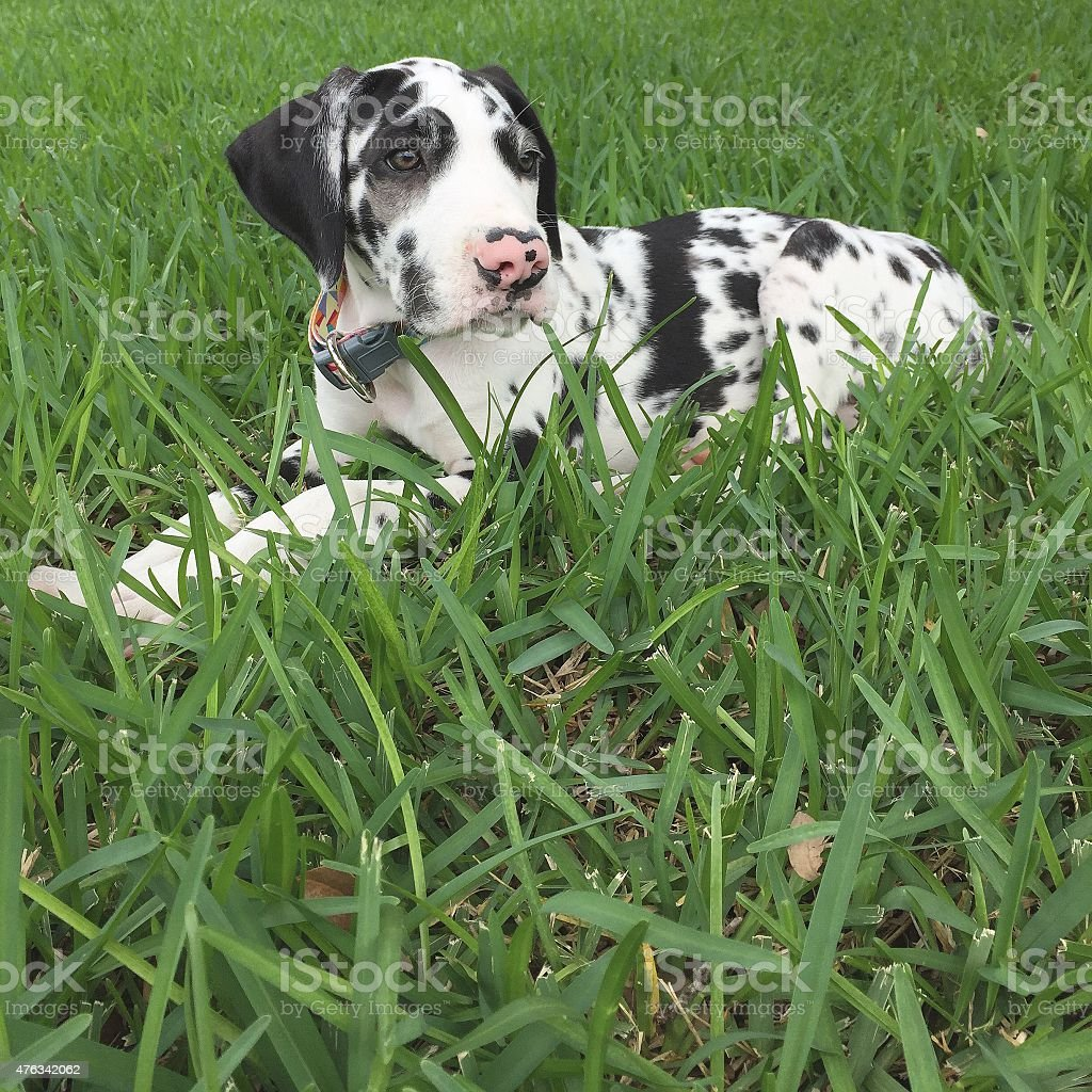 Great Dane Puppy in the Grass stock photo