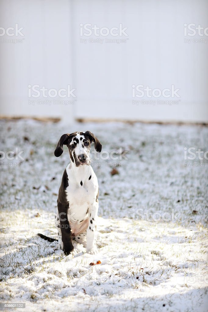 great dane puppy in the snow stock photo