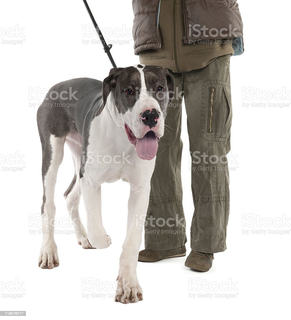 Great Dane puppy (6 months) royalty-free stock photo