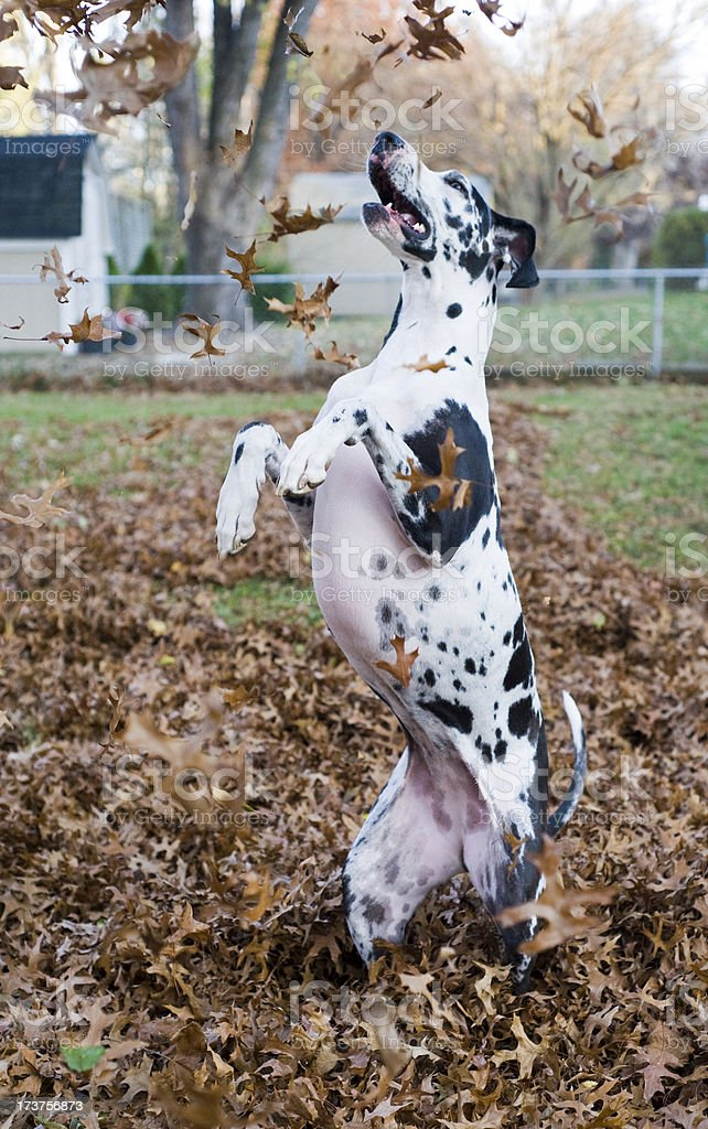 Great Dane Puppy playing in leaves stock photo