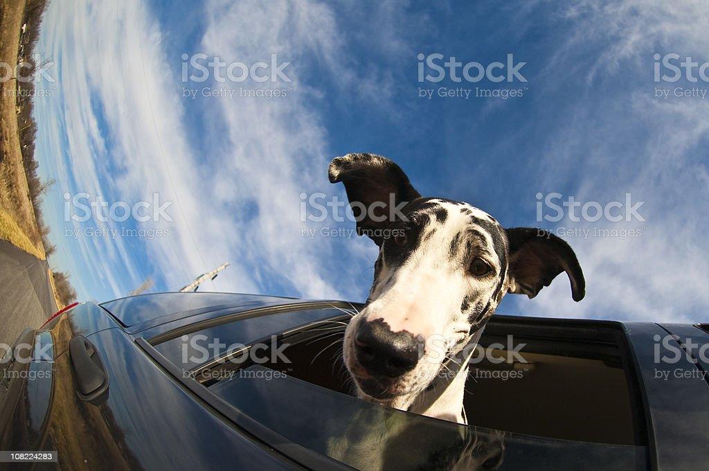Great Dane Riding stock photo