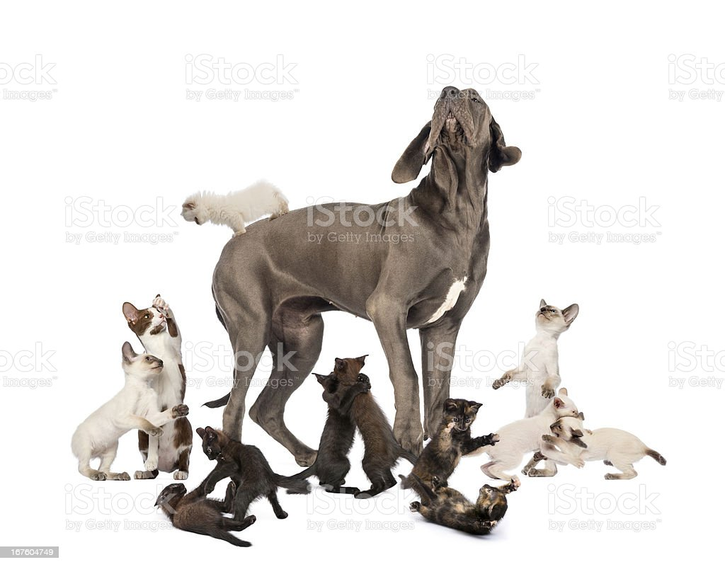 Great Dane standing in the middle of cats playing stock photo