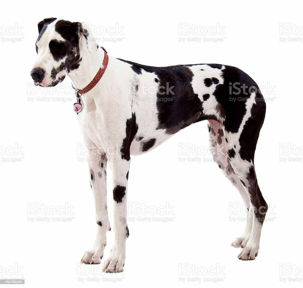 Great Dane Standing on White Background stock photo