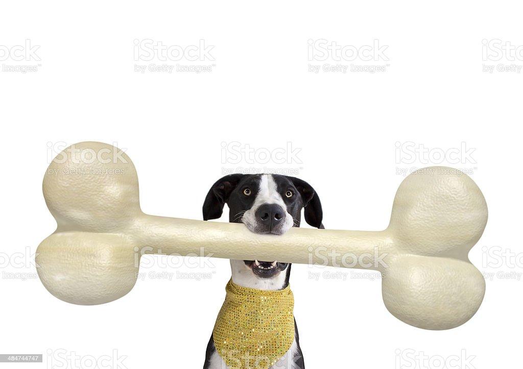 Great Dane with Giant Bone stock photo