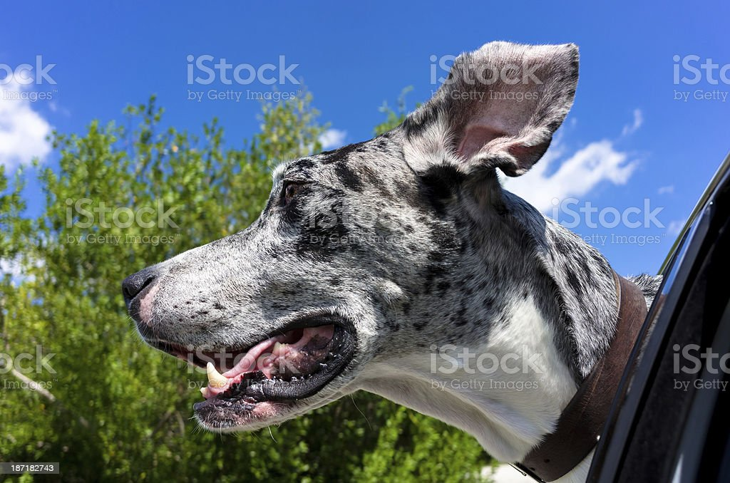 Great Dane with Head Out of Car Window stock photo