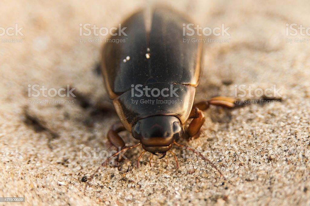 Great diving beetle (Dytiscus marginalis) stock photo
