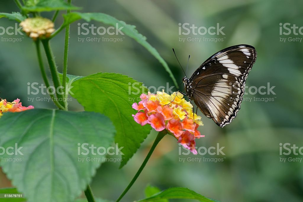 Great Eggfly butterfly and Lantana Flowers stock photo