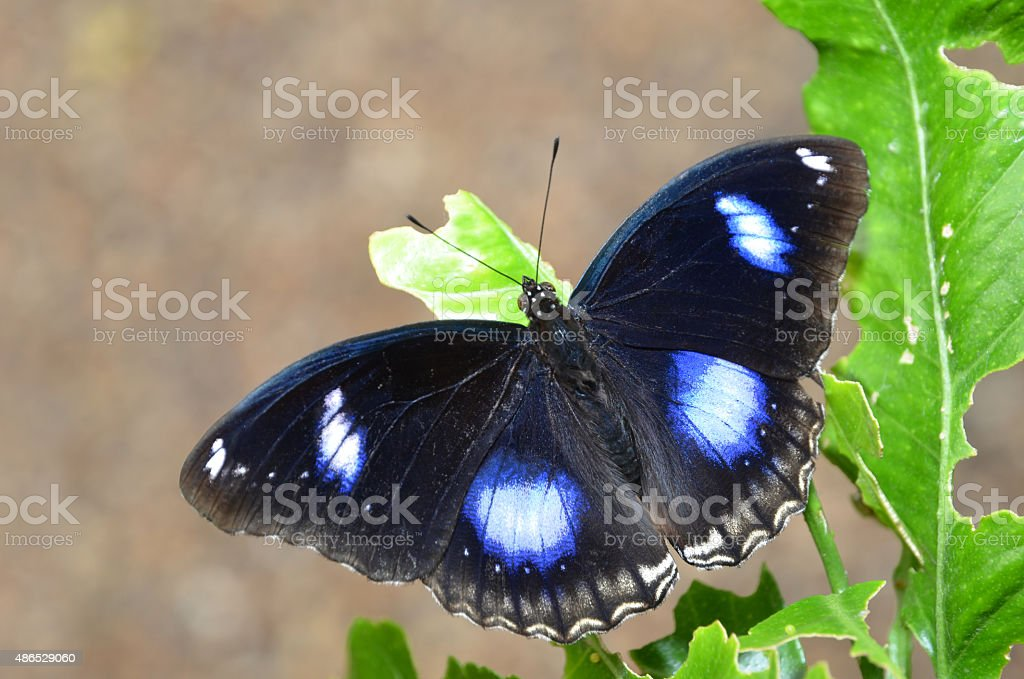 Great Eggfly butterfly, Common Eggfly - Hypolimnas bolina stock photo