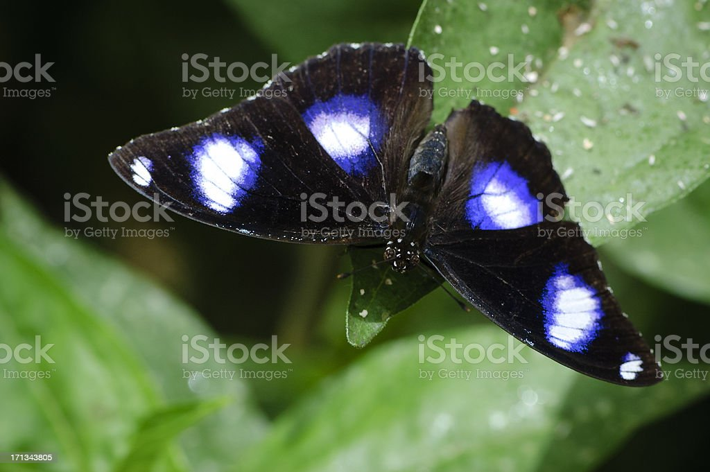 Great Eggfly Butterfly (male)    (Hypolimnas bolina) stock photo