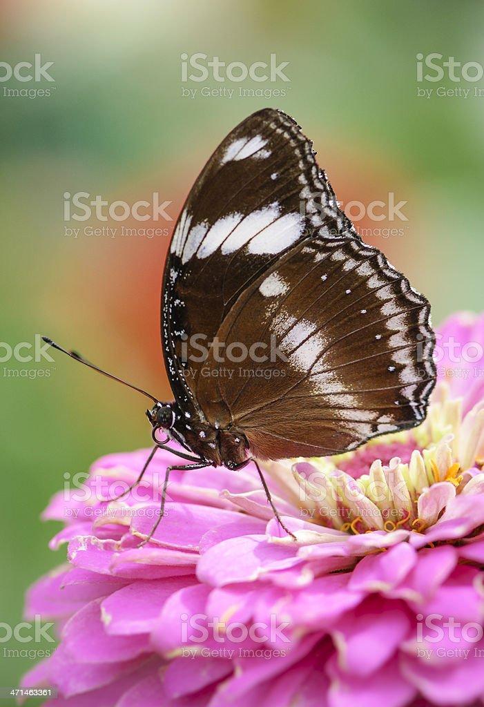 Great Eggfly Butterfly (Female)    (Hypolimnas bolina) stock photo
