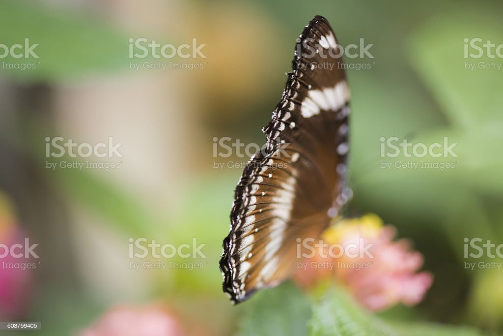 Great eggfly butterfly stock photo