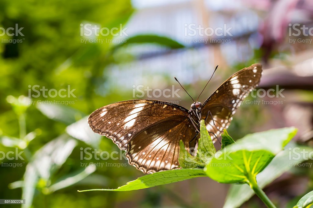 Great Egg-fly butterfly stock photo