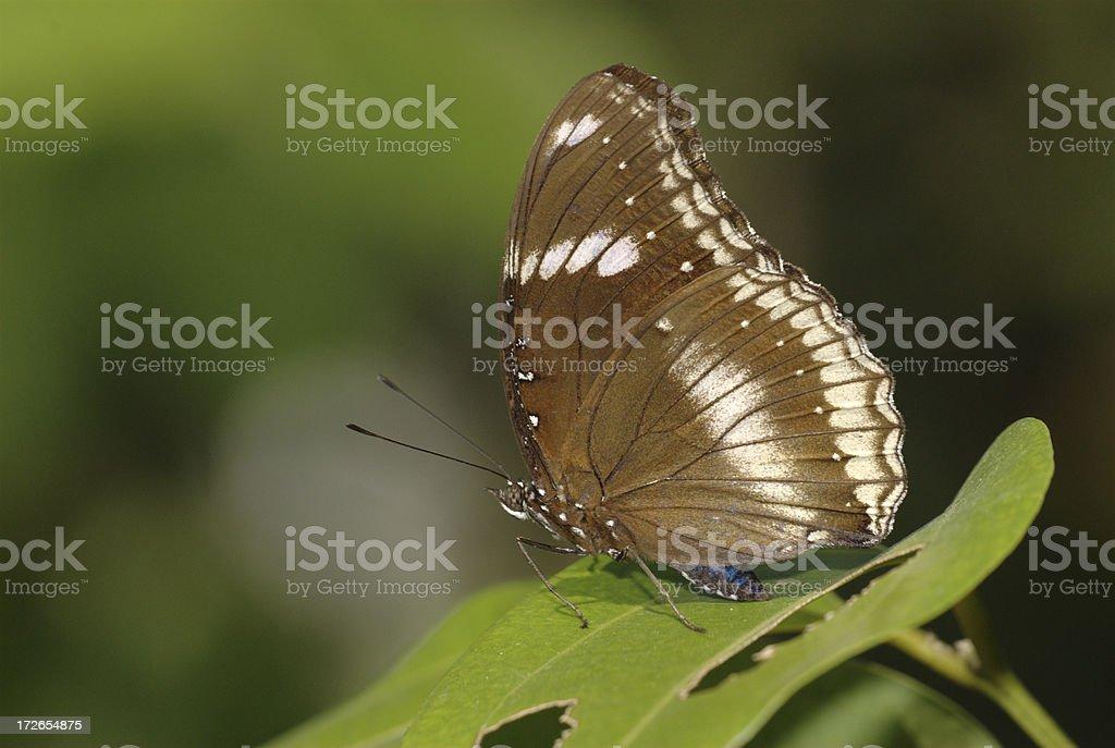 Great Eggfly (Hypolimnas bolina) of Bangkok stock photo