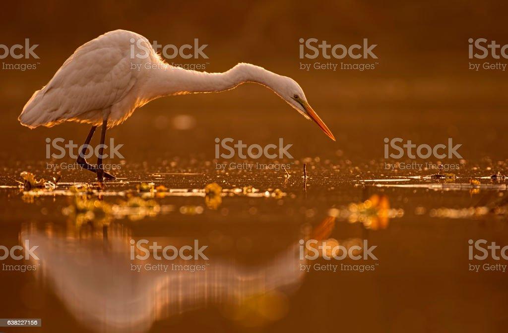 Great Egret alert to hunt stock photo