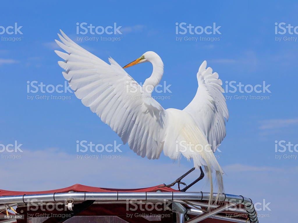 Great egret, Ardea alba, wide wings on roof, blue sky stock photo