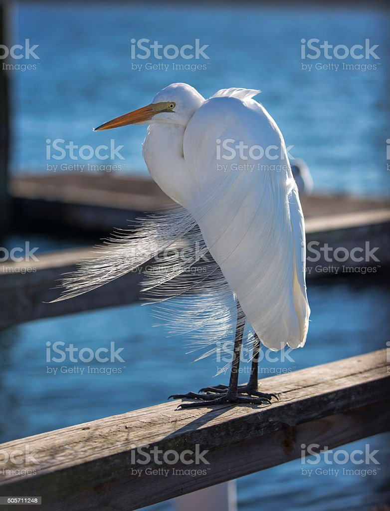 Great Egret at Dock stock photo