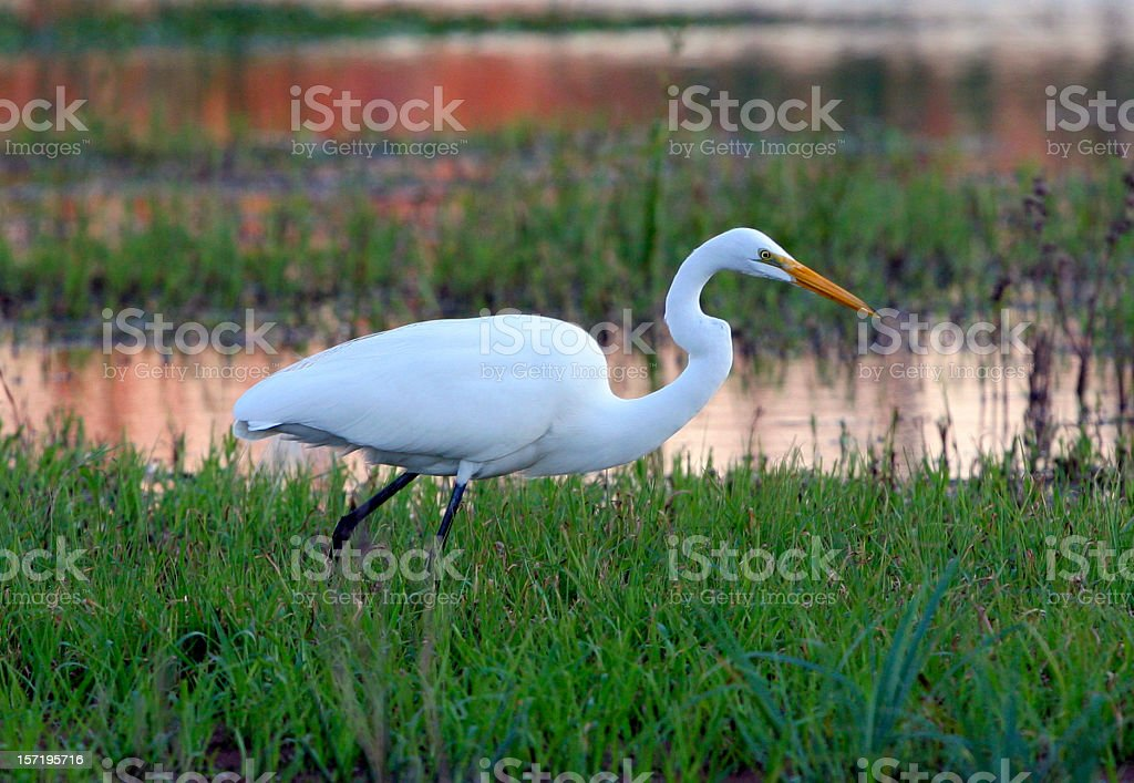 great egret at sunset stock photo
